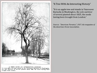 Image, 1911, Vancouver's Old Apple Tree, click to enlarge