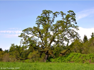 Image, 2005, Oregon White Oak, Ridgefield National Wildlife Refuge, click to enlarge