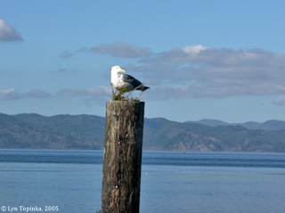 Image, 2005, Western Gull, Astoria, Oregon, click to enlarge