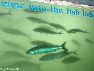 Image, 2005, Bonneville Dam Fish Window, click to enlarge