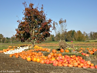 Image, 2005, Pumpkins, Sauvie Island, click to enlarge