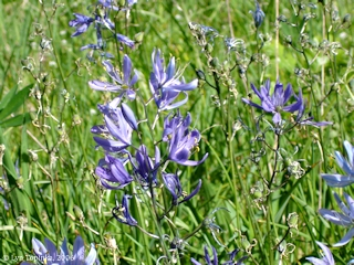 Image, 2006, Camas flowers, click to enlarge