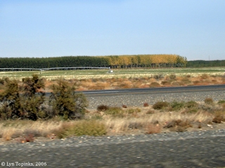 Image, 2006, Hybrid Poplars, Potlatch Plantation, Oregon, click to enlarge
