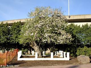 Image, 2007, Old Apple Tree, Vancouver, Washington, click to enlarge