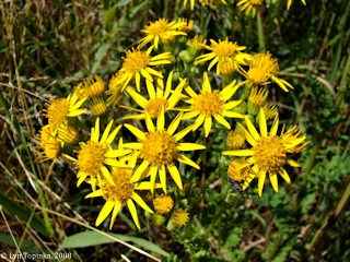 Image, 2008, Tansy Ragwort, Ridgefield NWR, Washington, click to enlarge
