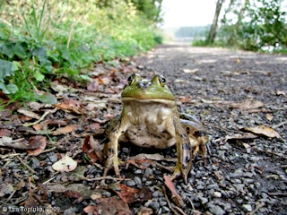 Image, 2009, Frog, Lacamas Lake, Washington, click to enlarge