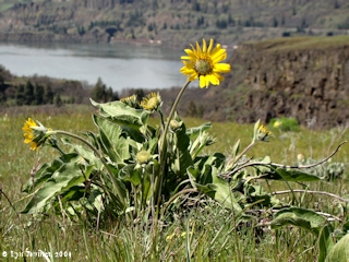 Image, 2009, Tom McCall Nature Preserve, Oregon, click to enlarge
