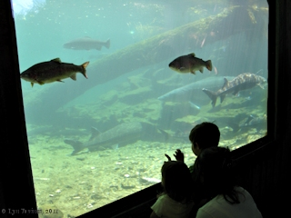 Image, 2011, Sturgeon and Trout watching, Bonneville Fish Hatchery, click to enlarge