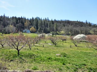 Image, 2016, Orchards near Mosier, Oregon, click to enlarge