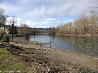 Image, 2016, Clackamas River from Clackamette Park, Oregon, click to enlarge