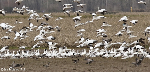 Image, 2018, Snow Geese, Frenchman's Bar Park, Vancouver, Washington, click to enlarge